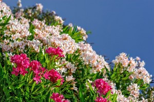 White and pink oleander flowers