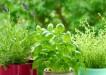 Pestujeme bylinky doma 1
