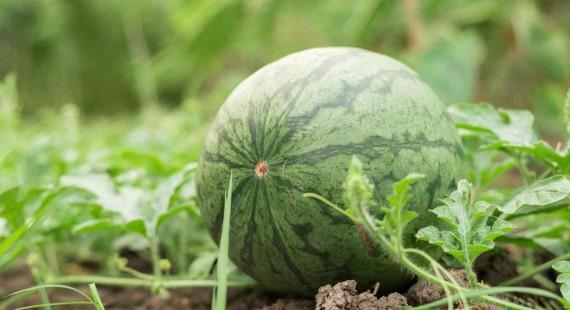 Jak na pestovani melounu v nasich podminkach 1