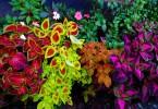 Pokojove rostliny s pestrobarevnymi listy 4