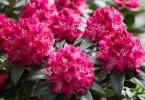 ak pecovat o rododendrony po odkvetu 3
