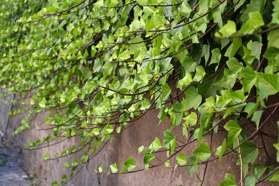 Brectan zakryje nevzhledna mista v zahrade