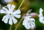 Silenka kvet
