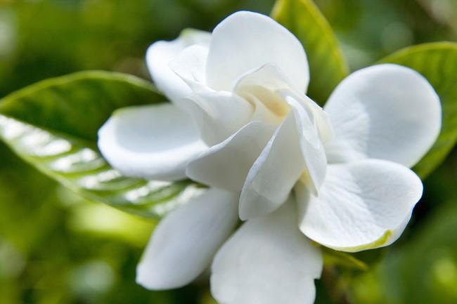 Bila gardenie